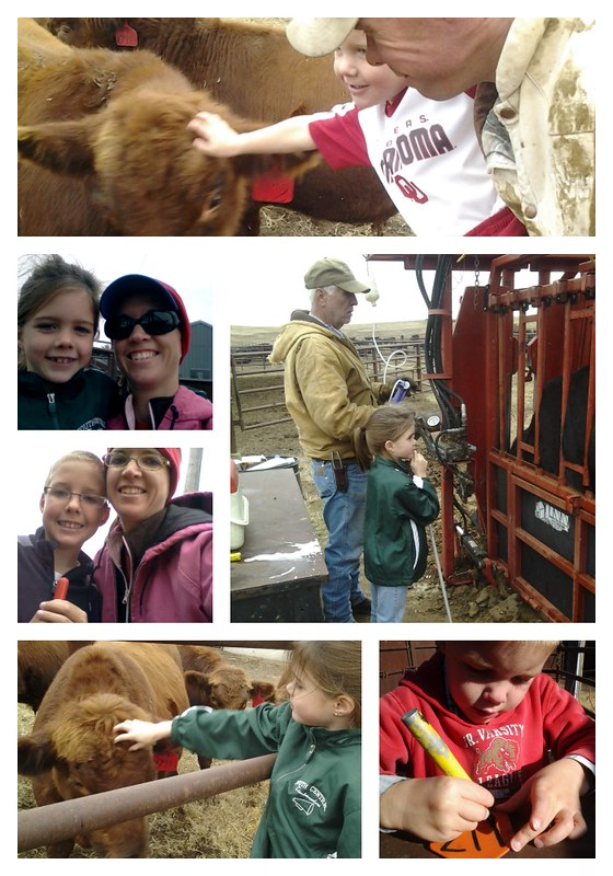 working cattle collage