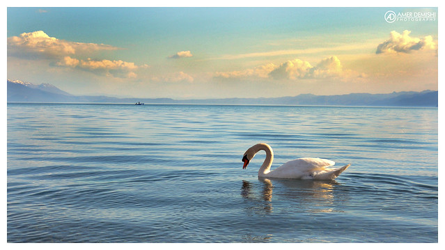 White Swan at Struga Lake