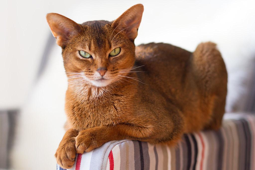 Коты абиссинские видео