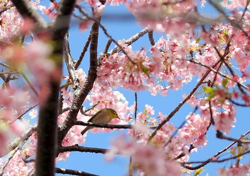 目白と河津桜