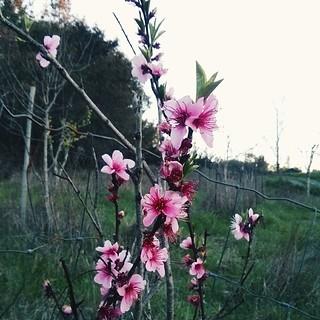 Peach blossom goodness....  #peach #blossoms #spring #springflowers #peachblossoms #trees #leaves #sky #orchard #countryside #springcolors #delicate #petals #sonomacounty #sebastopol #california #perspective #gardenatthefarm #pink #composition #contrast #