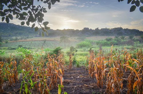 Corn fields at sunrise
