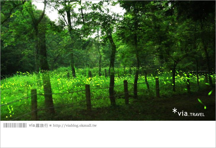【台中螢火蟲】東勢林場螢火蟲~賞螢必遊!滿滿的螢火蟲閃爍夢幻光芒18