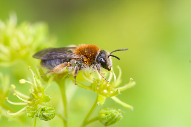 174: Andrena haemorrhoa