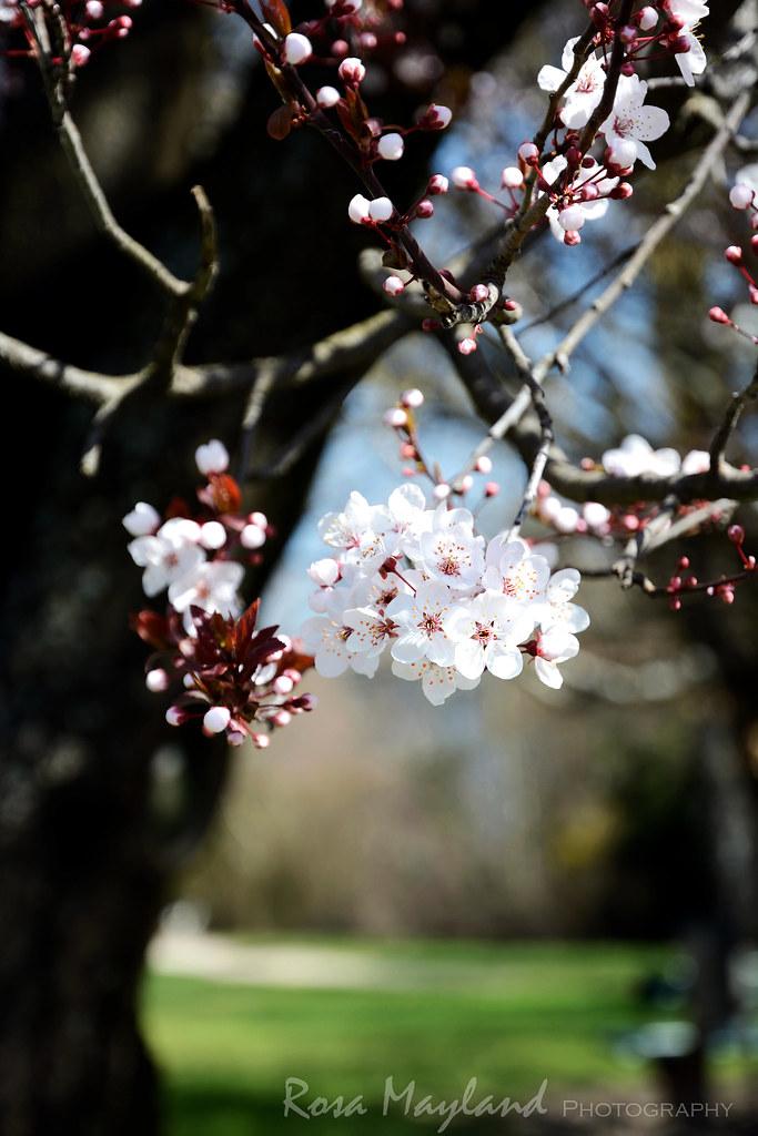 Blossoms - Spring 2014