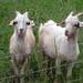 Goat Test 2014