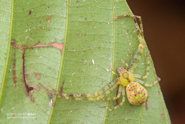 Crab spider (Epidius sp.) - DSC_4310