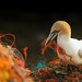 Basstölpel / Northern gannet by Thomas Haeusler