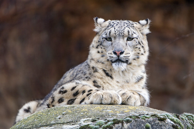 Young snow leopard on the rock