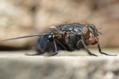La mouche bleue (Calliphora vomitoria)