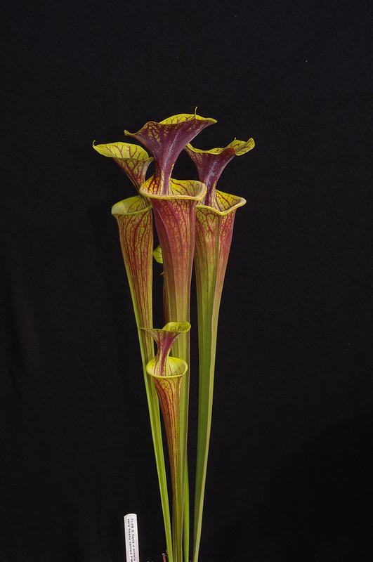 """Sarracenia Flava """"Red Tube Giant"""" Sumatra, Florida 8845174280_1a5f931d5e_c"""