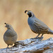 California Quail Couple