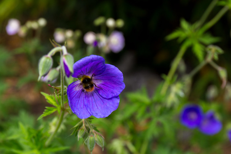 A bee on my geraniums