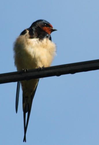 Hirondelle rustique Hirundo rustica Barn Swallow