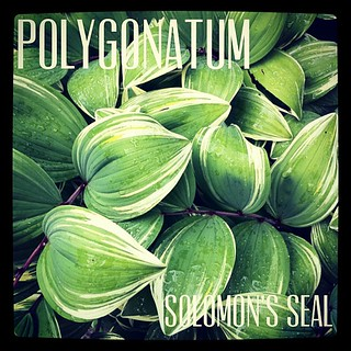 Garden Alphabet: Polygonatum (Solomon's Seal) | A Gardener's Notebook with Douglas E. Welch