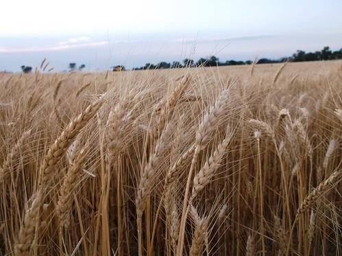 Beautiful wheat in OK