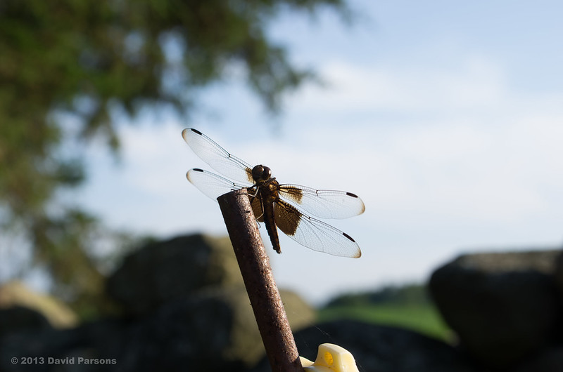 Buttonwood Dragonfly