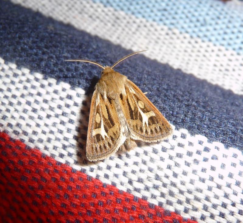 P1060389 - Antler Moth, Isle of Mull