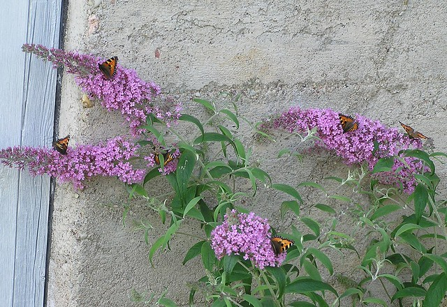 Small Tortoiseshells on Buddleja davidii 'Pink Delight'