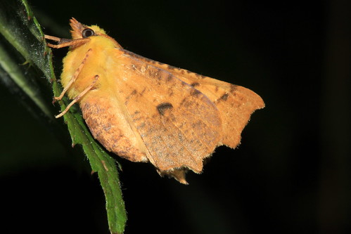 1913 Canary-shouldered Thorn 21572