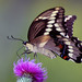 Swallowtail Butterfly by DPHPhotos
