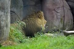 Male Lion - Portland Zoo - Aug 2013