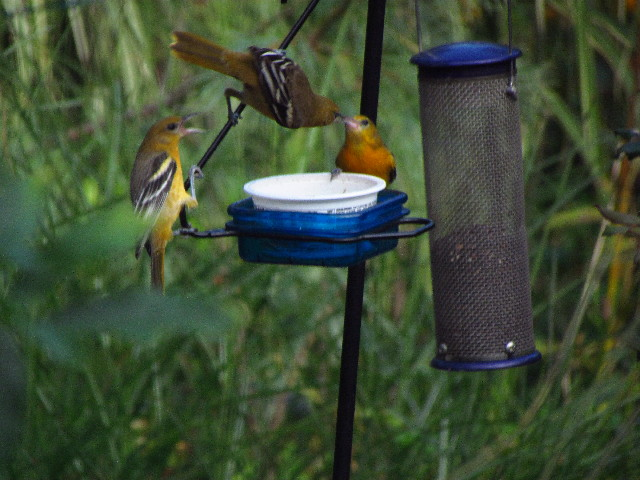 Orioles at feeder5 8:23:13