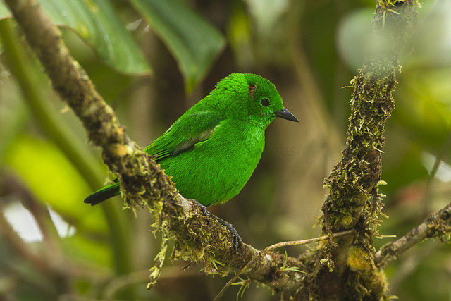 Glistening-green Tanager - Las Tangaras - Colombia_S4E4586