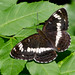 White Admiral (series, more in comments below) by KHR Images