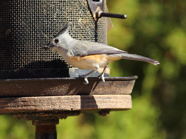 Black-crested Titmouse 3-20131102