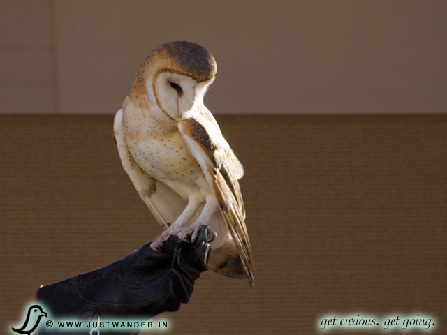 PIC: Bearizona's Barn Owl