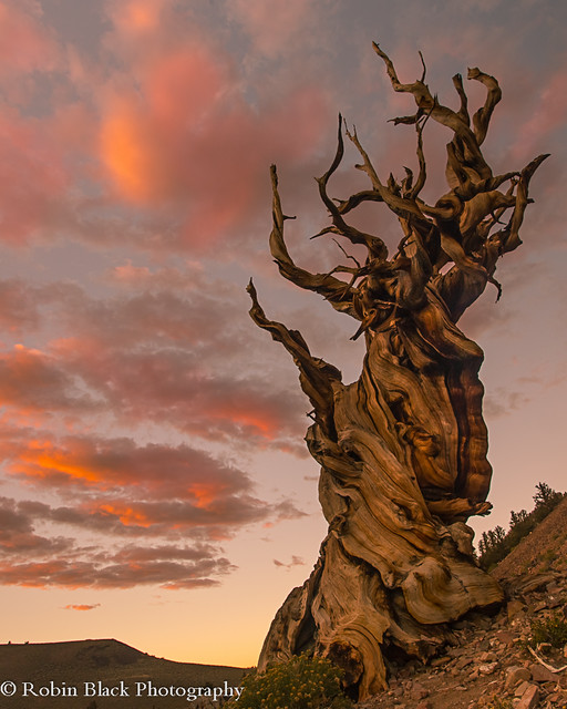 Twisted by Millennia (Ancient Bristlecone Pine, White Mountains)