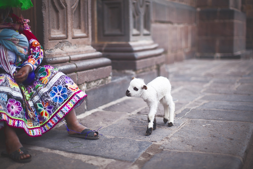 baby lamb in Cusco, Peru