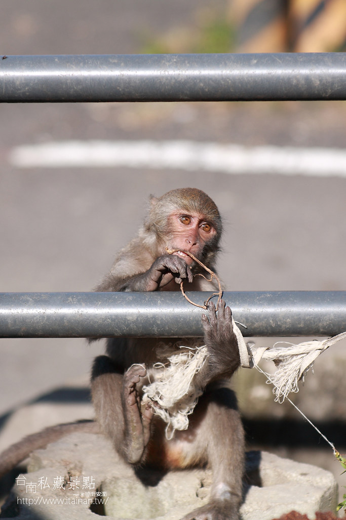 台南私藏景點-南化烏山獼猴 (22)