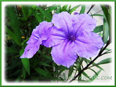 Ruellia simplex 'Purple Showers' or R. tweediana/brittoniana (Britton's Wild Petunia, Mexican Petunia/Bluebell) in our garden, 1 Sept 2013