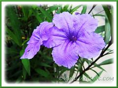 Ruellia simplex 'Purple Showers' or R. tweediana/brittoniana (Britton's Wild Petunia, Mexican Petunia/Bluebell) in our garden, 1 Sept 2013