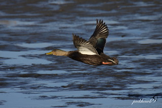 """American Black Duck"" ""Anas rubripes"""