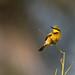_G3B2093 Little Bee-eater