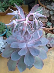 Echeveria Afterglow