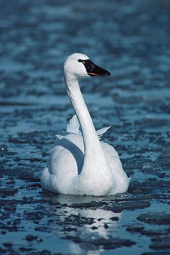 Wildlife in British Columbia, Canada: Whistling Swan (Tundra Swan)