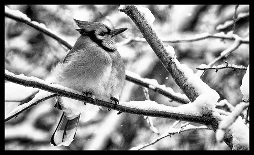 B&W Blue Jay by satdishguy