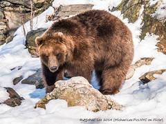 Brown Bear - 2/22/14 (P1290838)