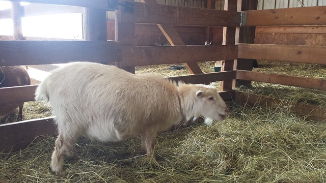 Introducing Sugar Cookie, Mimi's Nigerian Dwarf Goat