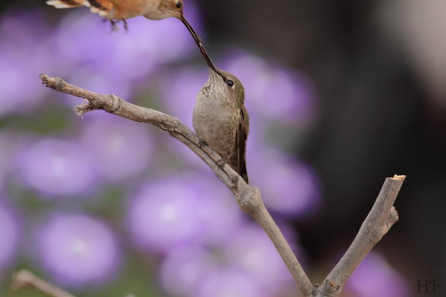 Anna's Hummingbird and Allen's Hummingbird 032614