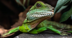 animal, green lizard, reptile, lizard, green, fauna, lacerta, scaled reptile, wildlife,