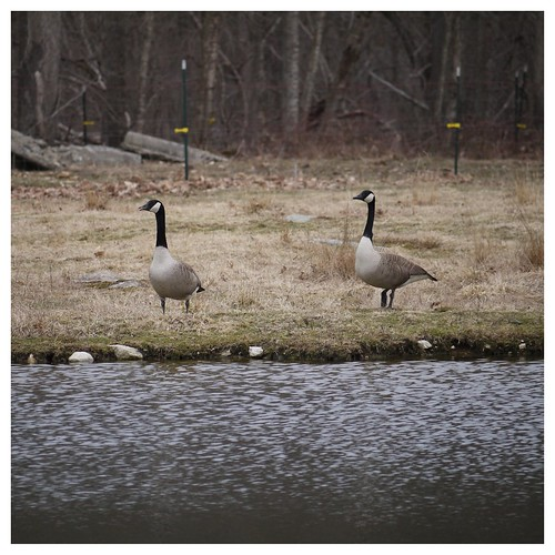 Geese by the Pond