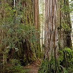 Redwoods along Mill Creek Trail