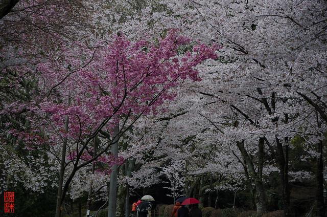 「雨の桜並木」 哲学の道 - 京都