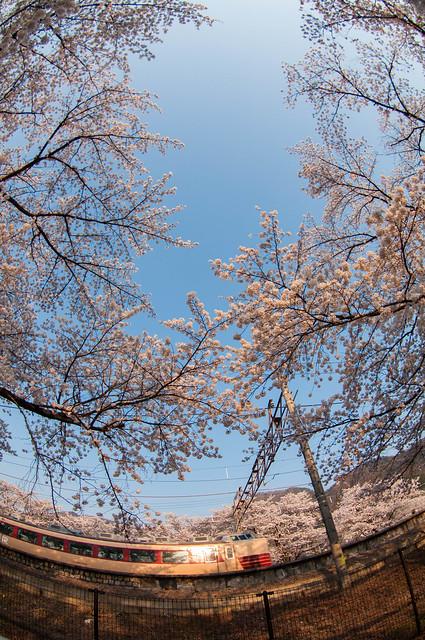 桜2014 : 勝沼ぶどう郷駅 甚六桜