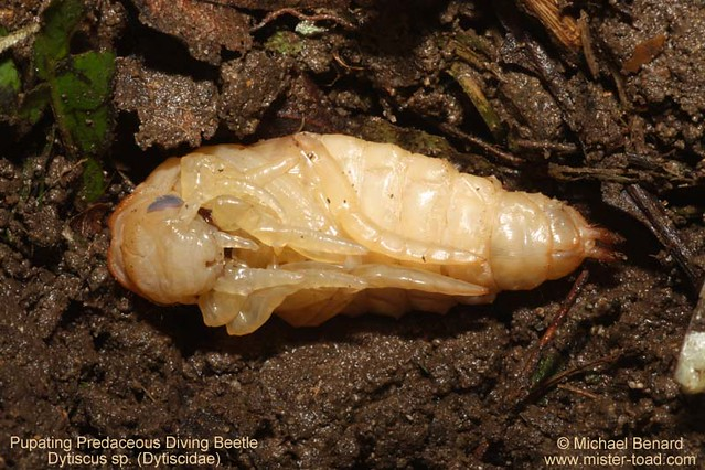 Pupa of Predaceous Diving Beetle (Dytiscus)